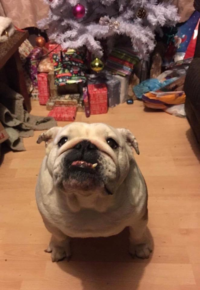 Collectibulldogs Christmas