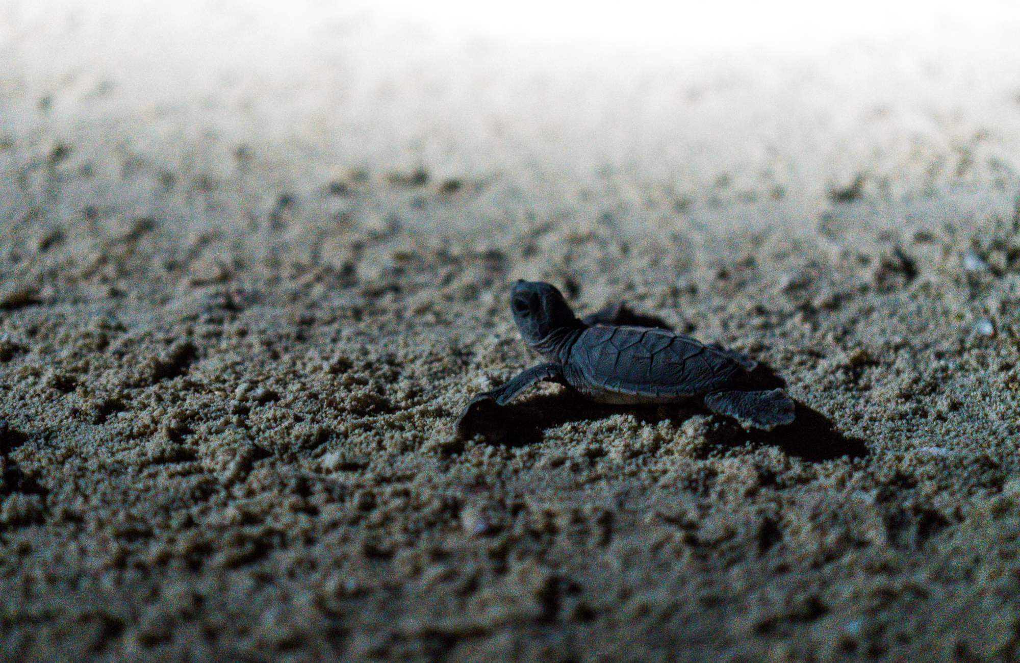 A Guide To Selingan Turtle Island Malaysia Collecting Other Places