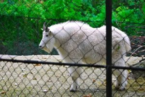 Rocky Mountain Goat, Menagerie-Zoo, le Jardin des Plantes, Paris