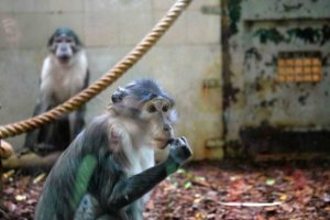 One of Coumba's mangabey relatives, Jardin des Plantes, Paris
