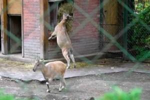 Bharal-Blue Sheep, Menagerie-Zoo, le Jardin des Plantes, Paris