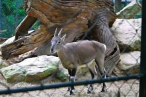 Baby Bharal-Blue Sheep, Menagerie-Zoo, le Jardin des Plantes, Paris
