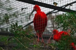 Ibis Rouge-Ibis Ruber, Menagerie-Zoo, le Jardin des Plantes, Paris