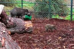 Sanglier des Visayas-Wart hog, Menagerie-Zoo, le Jardin des Plantes, Paris