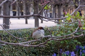 Palais-Royal a sparrow in the budding magnolia tree