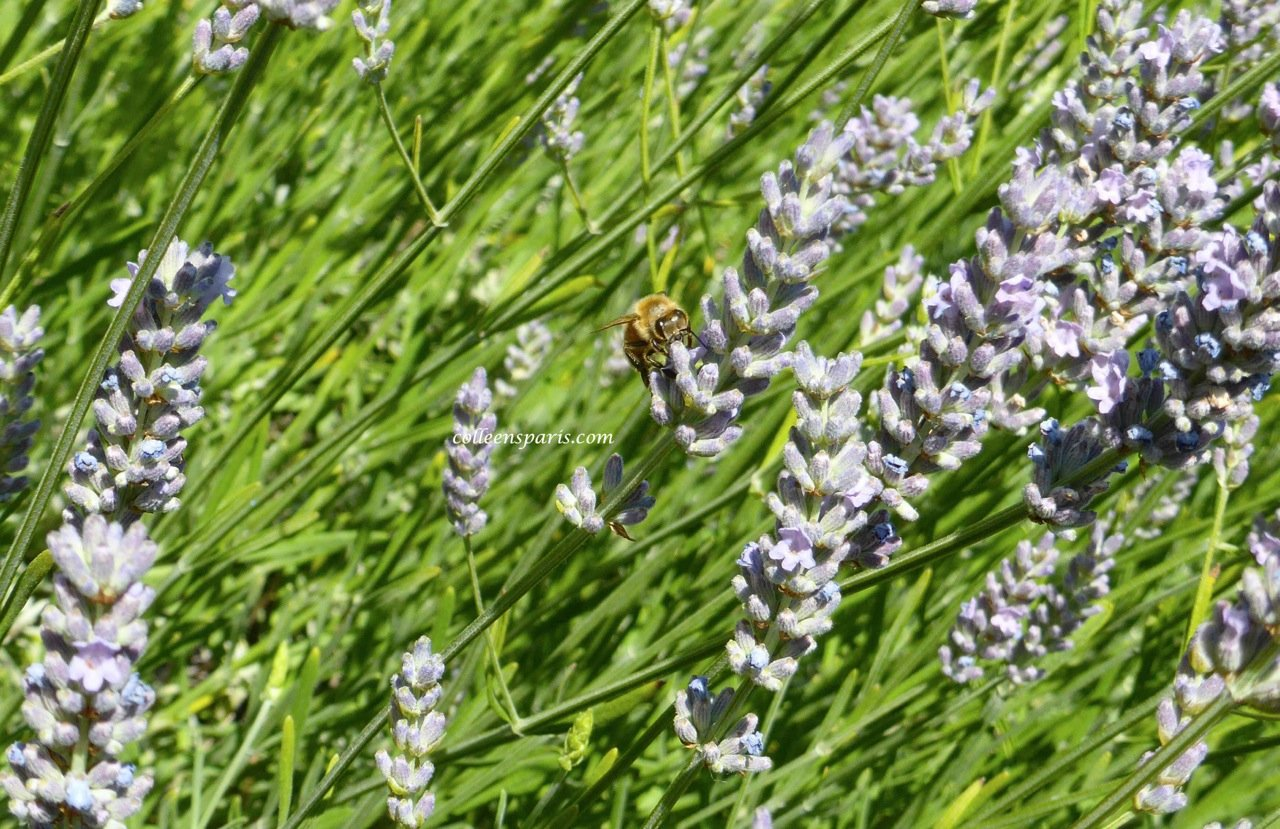 Bee on lavender Bee on flower at Hotel Raphael La Terrasse Bar Paris
