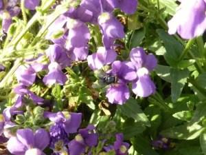 Jardin des Plantes fly on purple flowers