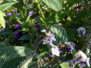 Jardin des Plantes - fly on purple flowers