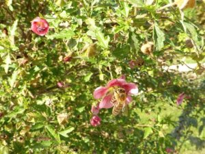 Jardin des Plantes - bee on pink flower