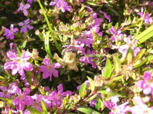 Jardin des Plantes - bee in pink flowers