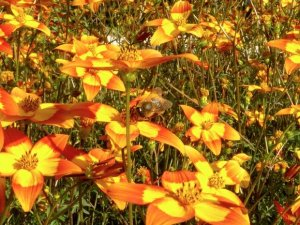 Insect menagerie Jardin des Plantes-fly mimicking bee on orange and yellow flowers