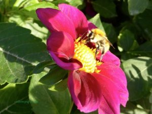 Insect menagerie Jardin des Plantes - bee (elbow antennae) on pink and yellow flower