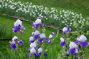 Iris, fleur-åde-lys (lis), symbol of royalty, garden of Versailles city hall