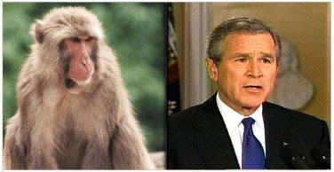 Bush- Monkey