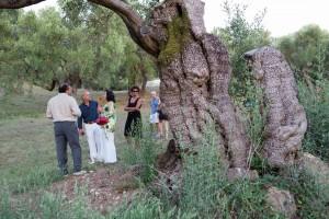 Ulivo Pisciottano presso la Tenuta Colline di Zenone