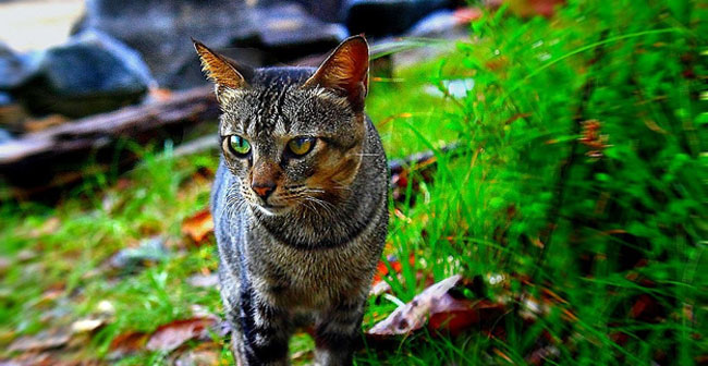 Can Wild Cats Be The Source Of A Pet S Fleas Colonial