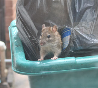 Image result for dumpster and rats