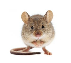 Baiting Mouse Traps Which Foods Work Best Colonial Pest Control