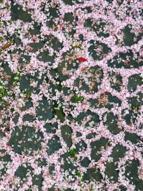 cerisier, pétales