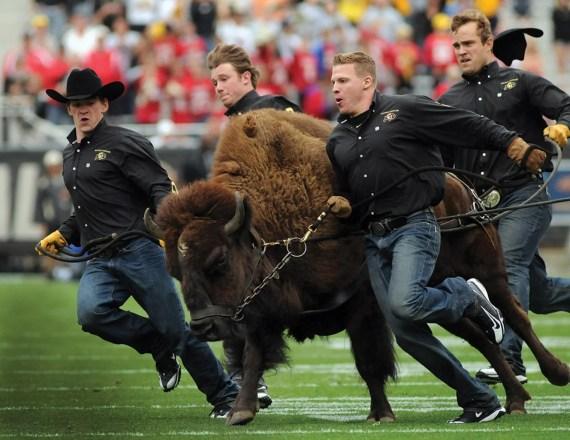 Ralphie Running | Alumni Association | University of Colorado Boulder