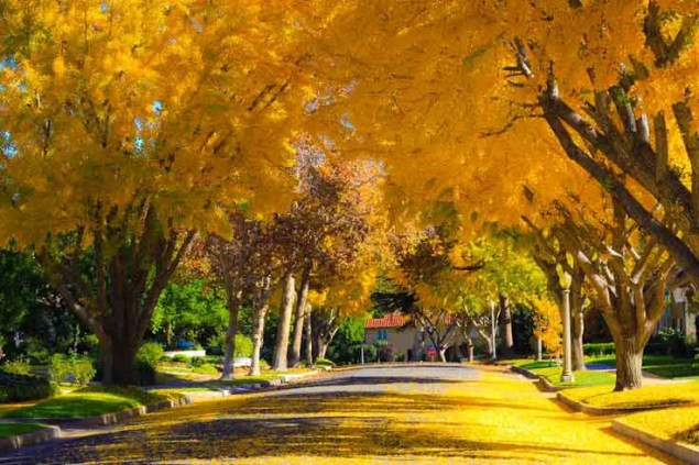 yellow colored trees