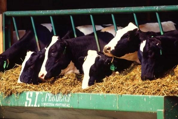 Dairy cows (Photo - en.wikipedia.org).