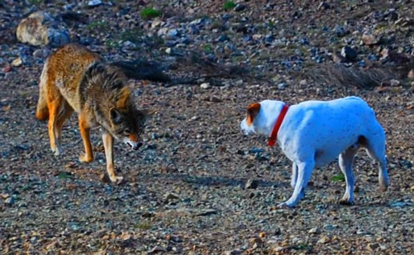 A coyote and a dog at a standoff