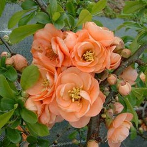 cameo flowering quince