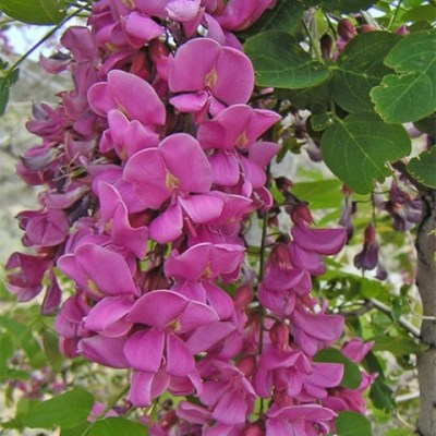 robinia neomexicana close up