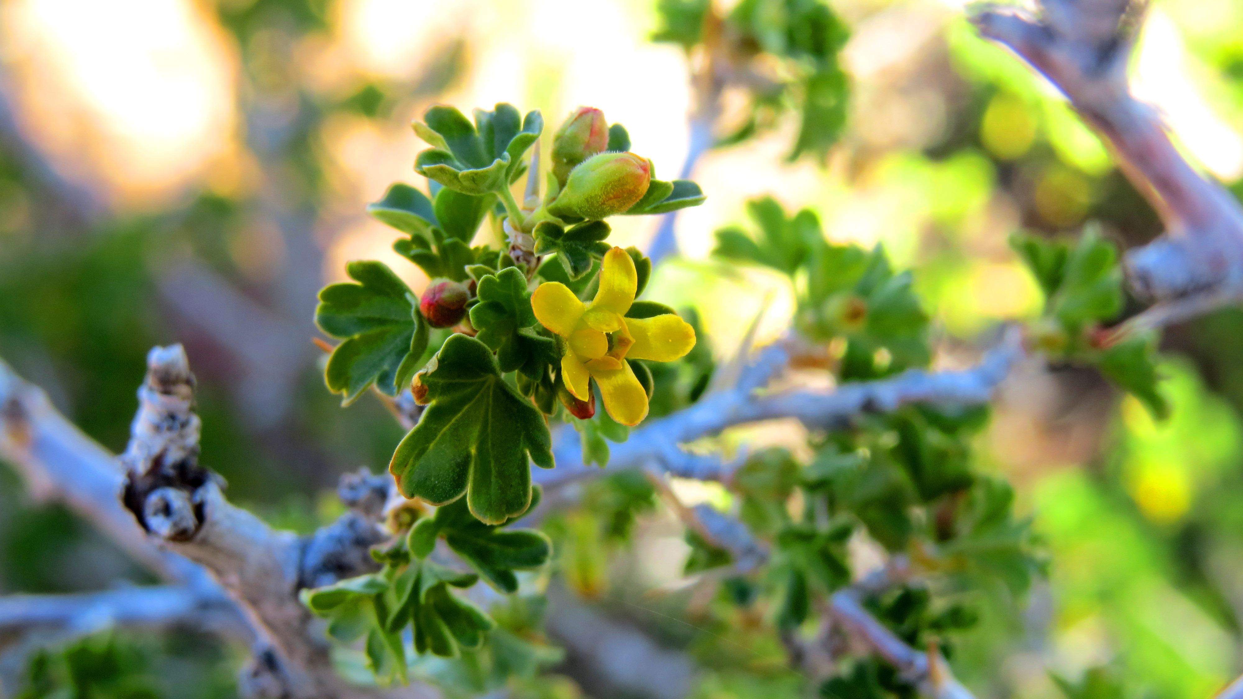Ribes Aureum Golden Currant Coloradohardyplants