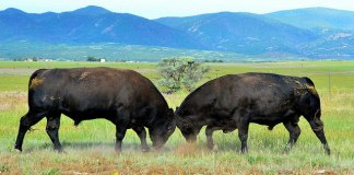 Two bulls fighting at La Veta Pass in Colorado