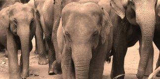 Elephants lumber ahead.