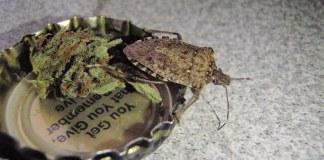 Stink bug on marijuana