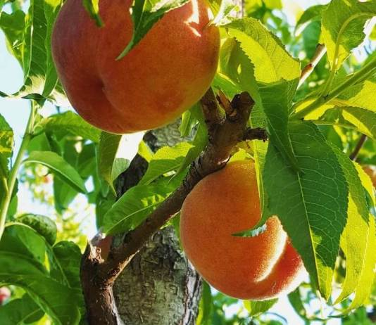Guest Post: New fracking plan could threaten the Colorado peach