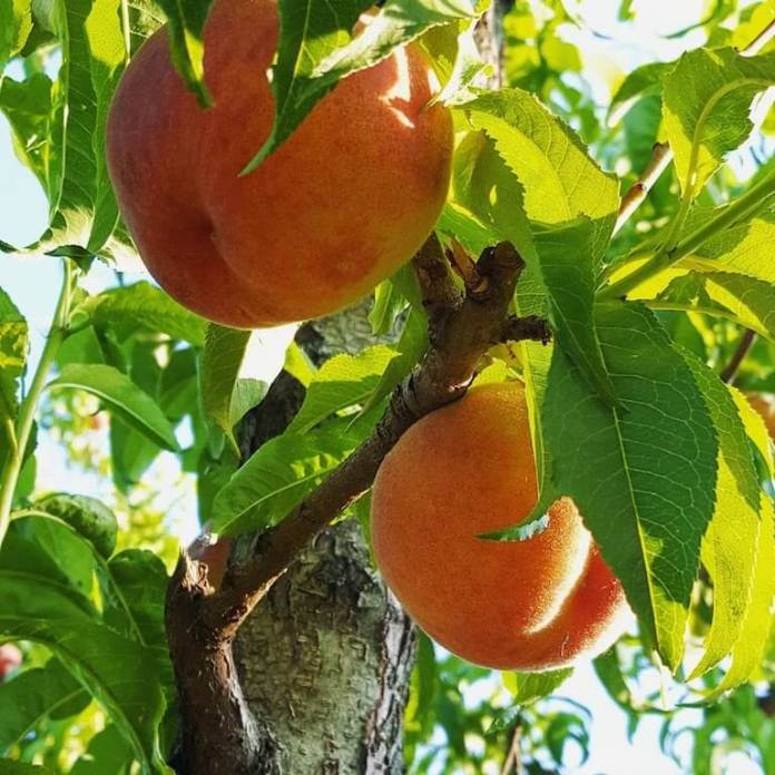 Peaches grow in the orchards of Ela Family Farms ― a fourth-generation orchard in Hotchkiss, CO. (Photo courtesy of Ela Family Farms)