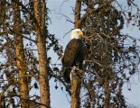 One of Summit County's nesting bald eagles.
