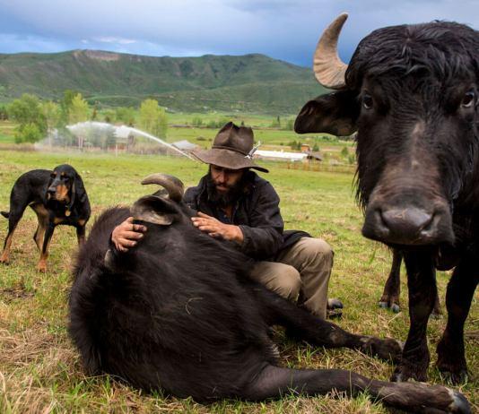 One rancher's plan to establish water buffalo in Colorado