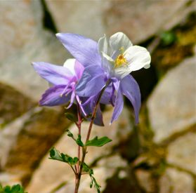 You can't do a photo essay from the San Juans without including a columbine portrait.