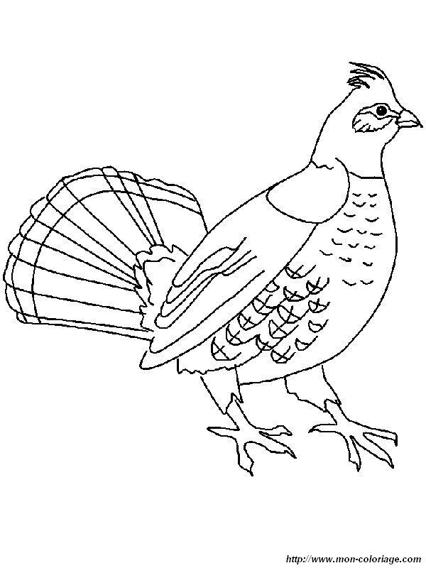Colorear Aves Dibujo Urogallo