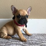 Colorful Frenchies French Bulldogs