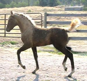 Devine Electric  (Devine Spirit of Hope x Good News Joy)  Foaled 2006  Congratulations to Arapaho Ranch, Colorado