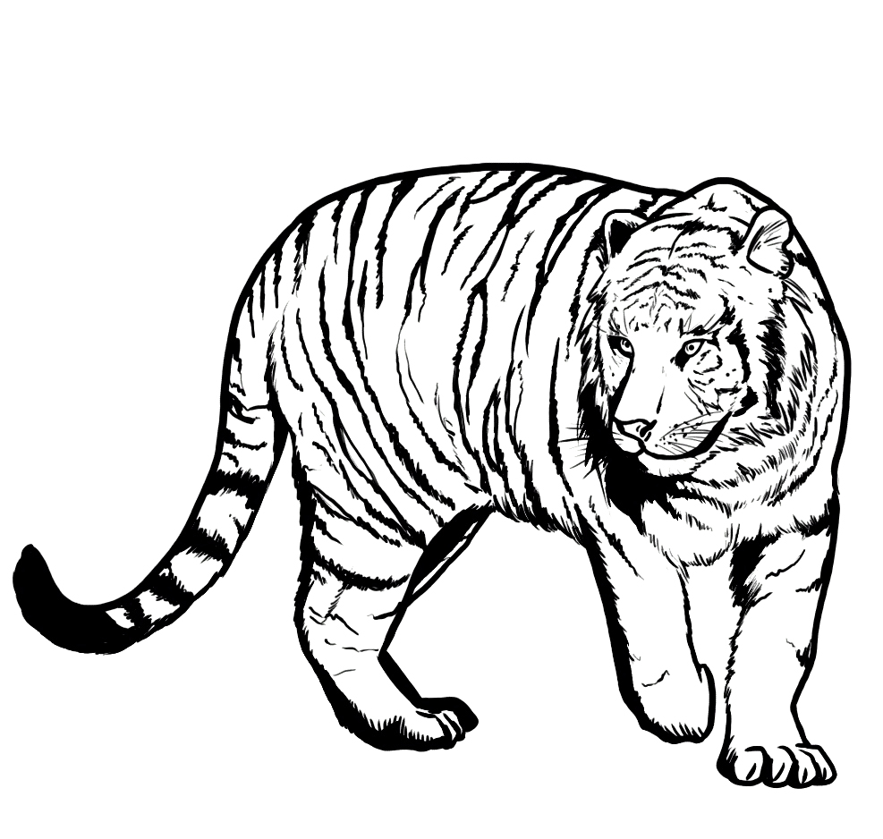 pages coloring pages of tigers free printable tiger coloring pages