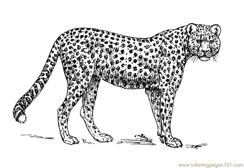 cheetah coloring pages animals cooloring com