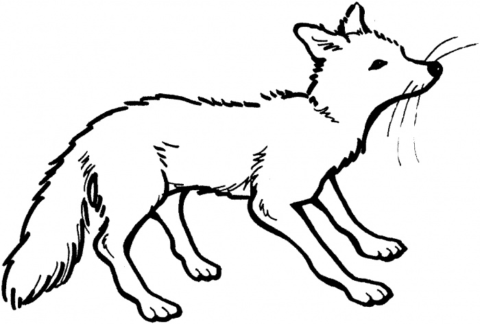 arctic fox coloring page index of
