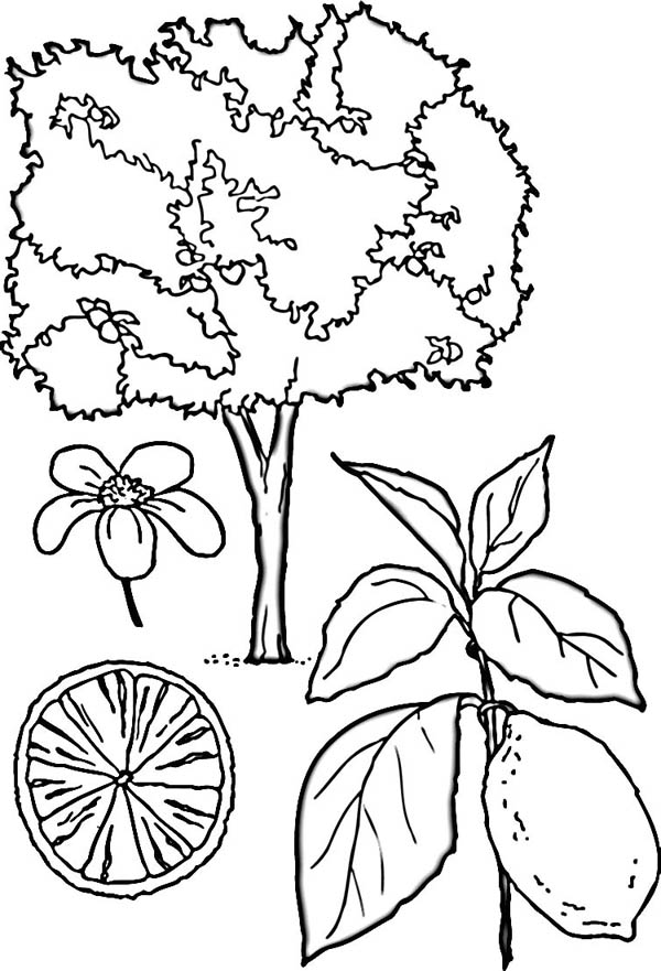 lemon tree coloring page coloring sky