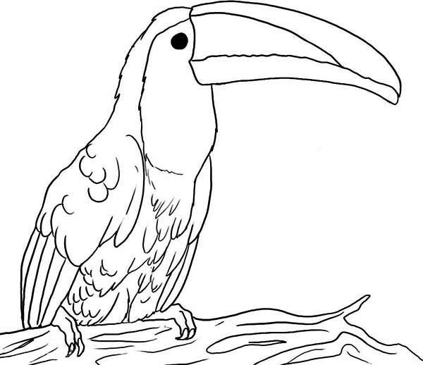 big beak toucan coloring page big beak toucan coloring