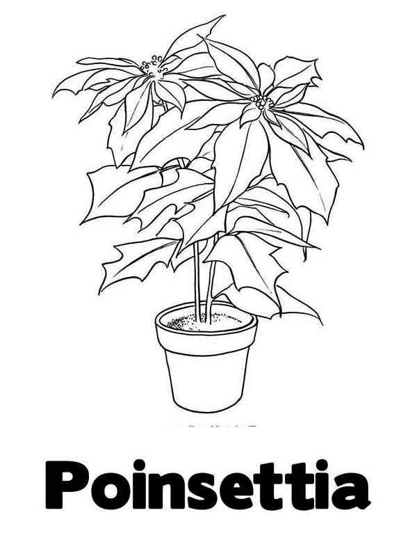 letter p is for poinsettia for poinsettia day coloring page
