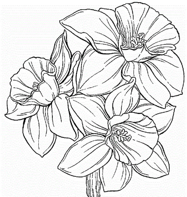 Line Drawing Daffodil : Daffodil flower tattoo coloring pages