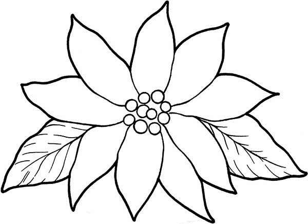 blooming poinsettia coloring page color luna