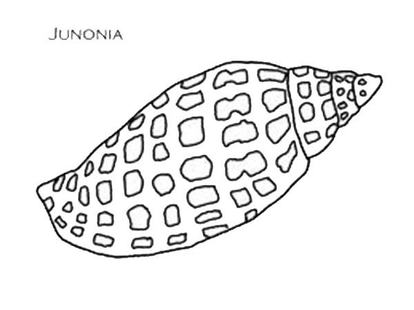 an exquisite junonia seashell coloring page download amp print